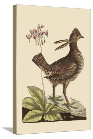 Amercan Partridge-Mark Catesby-Stretched Canvas Print