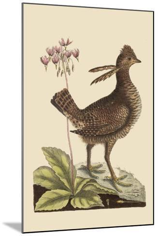 Amercan Partridge-Mark Catesby-Mounted Art Print