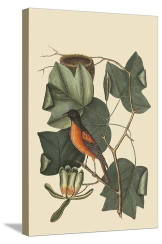 Baltimore Oriole-Mark Catesby-Stretched Canvas Print