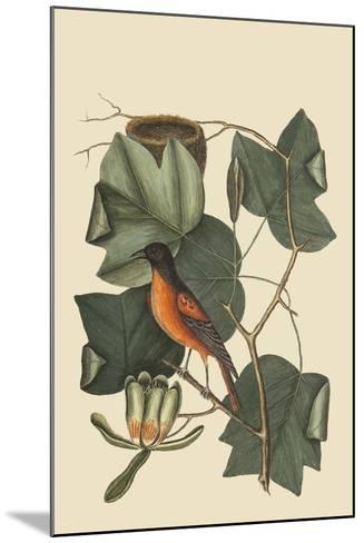 Baltimore Oriole-Mark Catesby-Mounted Art Print