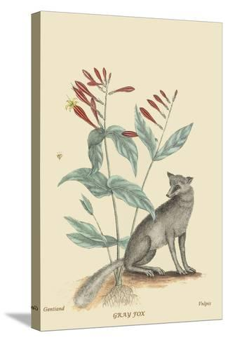 Gray Fox-Mark Catesby-Stretched Canvas Print