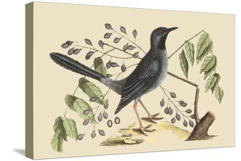 Red Legged Thrush-Mark Catesby-Stretched Canvas Print