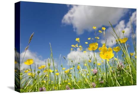 Meadow of Grass and Blooming Summer Buttercups under Blue Sky-Echo-Stretched Canvas Print
