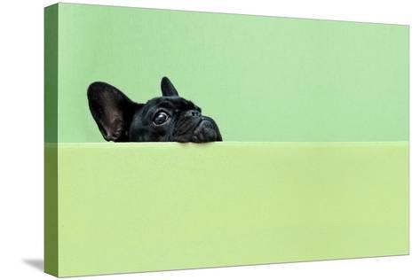 French Bulldog Puppy-retales botijero-Stretched Canvas Print