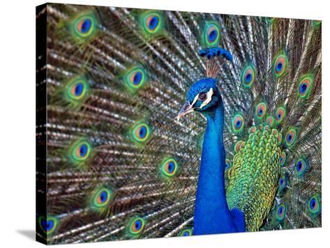 Magnificent Peacock-Sandra L. Grimm-Stretched Canvas Print