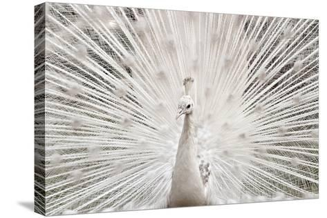 White Peacock, Lahore-pharan Tanveer-Stretched Canvas Print