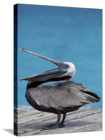 Brown Pelican Dock, Caribbean-Chel Beeson-Stretched Canvas Print