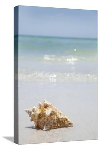 Usa, Florida, St. Petersburg, Conch Shell on Beach-Vstock LLC-Stretched Canvas Print