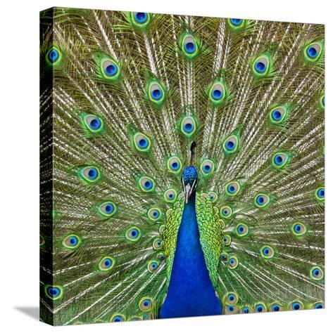 Peacock Displaying its Colorful Feathers-Stuart Dee-Stretched Canvas Print