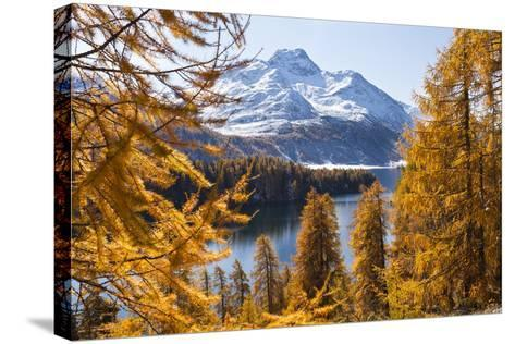 Larch Trees by Lake Sils and Piz De La Margna, Engadin, Switzerland-F. Lukasseck-Stretched Canvas Print