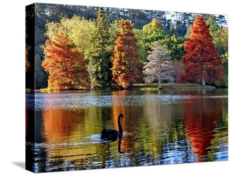Black Swan in Autumn-Steve Clancy Photography-Stretched Canvas Print