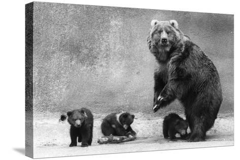 Kodiak Bear Family-Evening Standard-Stretched Canvas Print