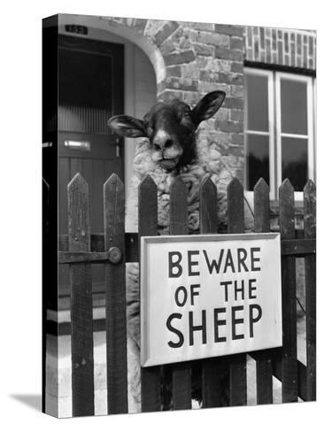 Sheep Guard-Cole-Stretched Canvas Print