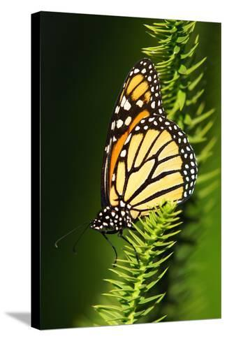 Monarch Butterfly--Stretched Canvas Print