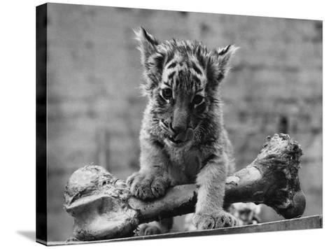 Abandoned Cub-William Vanderson-Stretched Canvas Print