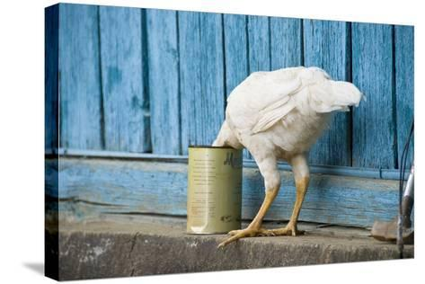 A White Chicken Thrusts its Head into a Tin Can in Front of a Turquoise Painted Rough Timber Wall,-Doug Meikle  Dreaming Track Images-Stretched Canvas Print