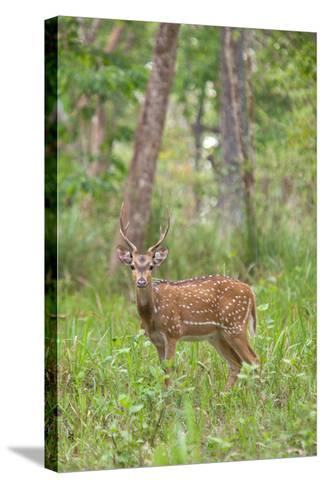 A Chital or Spotted Deer in Muthanga Wildlife Sanctuary, Wayanad, Kerala-Cultura Travel/Philip Lee Harvey-Stretched Canvas Print