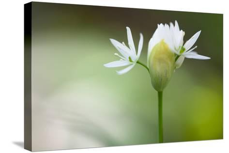 Blooming Wild Garlic (Allium Ursinum)-Ingmar Wesemann-Stretched Canvas Print