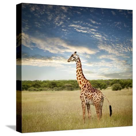 Giraffe at Serenget in National Park,Tanzania-JoSon-Stretched Canvas Print