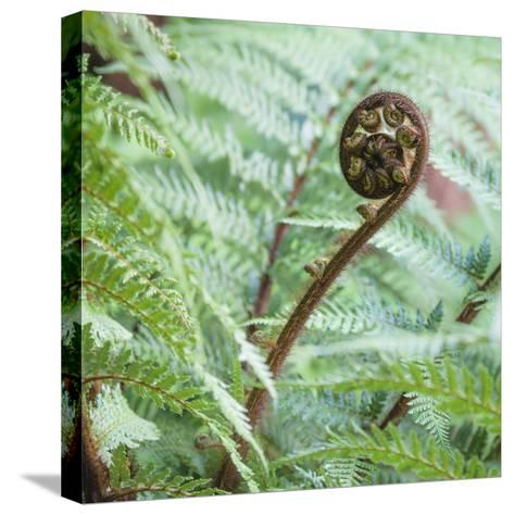 Fiddlehead on Giant Tree Fern-David Madison-Stretched Canvas Print