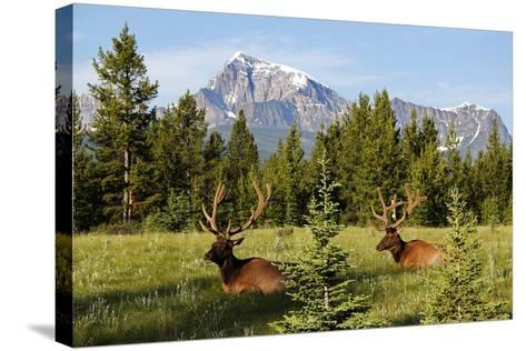 Elks at Bow Valley, Banff Nationalpark, Alberta-Hans Peter Merten-Stretched Canvas Print