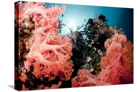 Red Lionfish and Corals-Yusuke Okada/a.collectionRF-Stretched Canvas Print