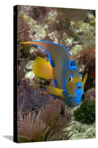 Queen Angel Angelfish Holacanthus Ciliaris, Florida Keys National Marine Sanctuary, Key Largo Flori-Dickson Images-Stretched Canvas Print