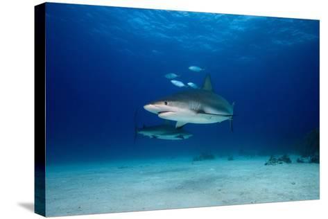 Caribbean Reef Sharks-James R.D. Scott-Stretched Canvas Print