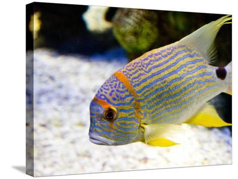 Fish Face-Photo by Kortney Thoma-Stretched Canvas Print
