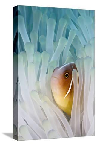 Pink Skunk Clownfish-liquid kingdom - kim yusuf underwater photography-Stretched Canvas Print