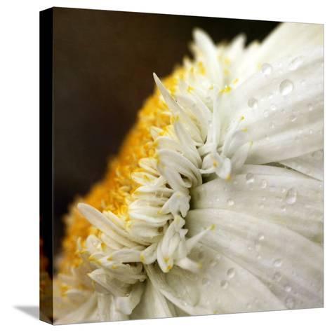 Chrysanthemum Daisy with Raindrops-Nichola Sarah-Stretched Canvas Print