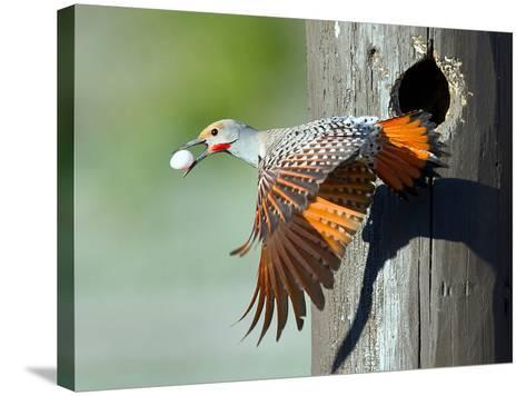 Northern Flicker-CR Courson-Stretched Canvas Print