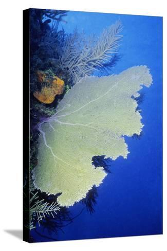 Close-Up of a Common Sea Fan (Gorgonia Ventalina), Cayman Islands, West Indies-Glowimages-Stretched Canvas Print