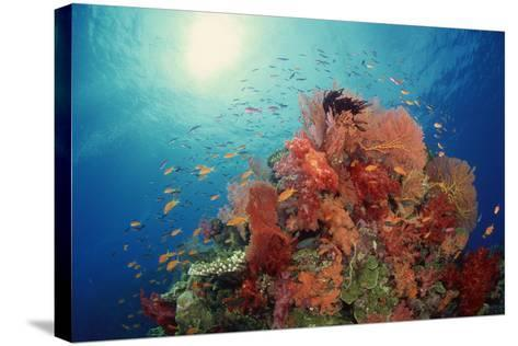 Reef Scenic of Hard Corals , Soft Corals and Tropical Fish , South Pacific-Comstock-Stretched Canvas Print