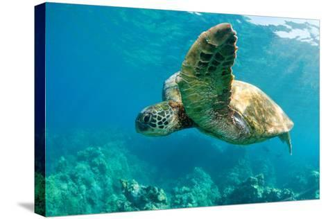 Sea Turtle Fly-M Sweet-Stretched Canvas Print