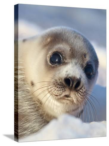 Young Harp Seal-Stephen Desroches-Stretched Canvas Print