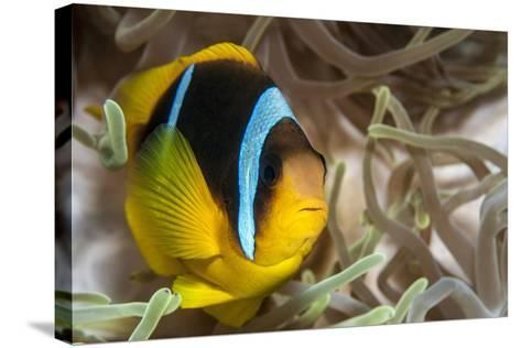 Clark's Anemonefish-Lea Lee-Stretched Canvas Print