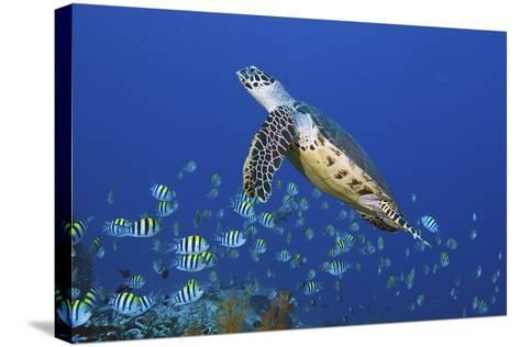 Hawksbill Turtle and Schooling Sergeants-Jones/Shimlock-Secret Sea Visions-Stretched Canvas Print