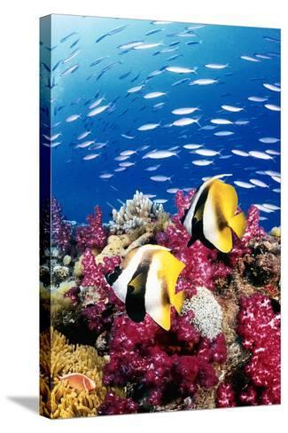 Australia, Bannerfish on the Great Barrier Reef (Digital Composite)-Jeff Hunter-Stretched Canvas Print