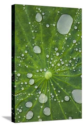 Water Droplets on a Lotus Leaf-Glen Allison-Stretched Canvas Print