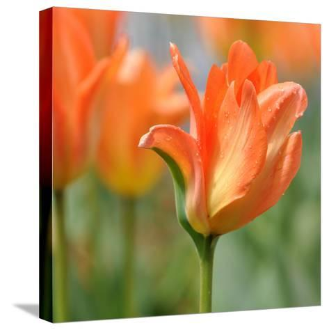Tulip after Gentle Rain--Stretched Canvas Print