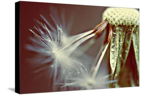 Dandelion with Droplets--Stretched Canvas Print