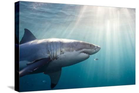 Great White Shark-Stephen Frink-Stretched Canvas Print