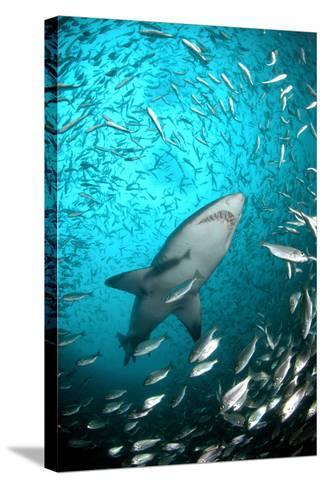 Big Raggie Swims through Baitfish Shoal-Jean Tresfon-Stretched Canvas Print