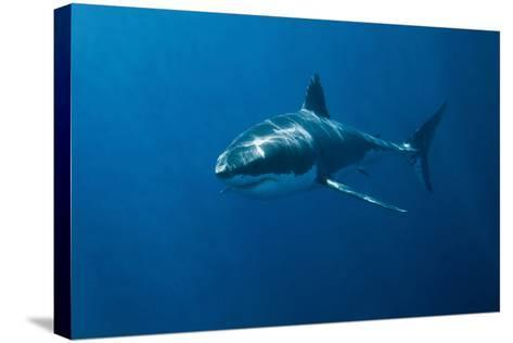 Great White Shark-John White Photos-Stretched Canvas Print