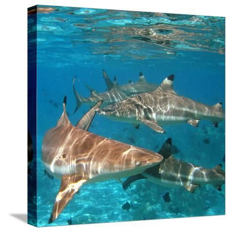 Black Tipped Sharks. Moorea-Mako photo-Stretched Canvas Print