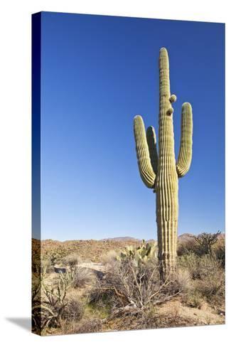 Usa, Arizona, Phoenix, Saguaro Cactus on Desert-Bryan Mullennix-Stretched Canvas Print