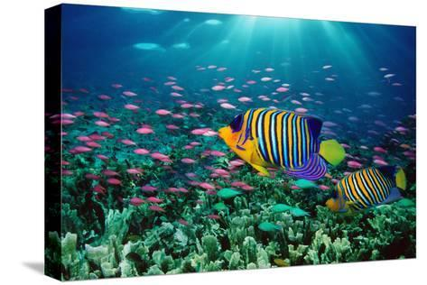 Regal Angelfish and Purple Anthias in Coral Reef (Digital Composite)-Georgette Douwma-Stretched Canvas Print