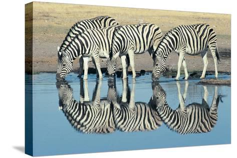 Burchells Zebra (Equus Burchelli) Drinking at Waterhole, Etosha, Namibia-Digital Vision.-Stretched Canvas Print