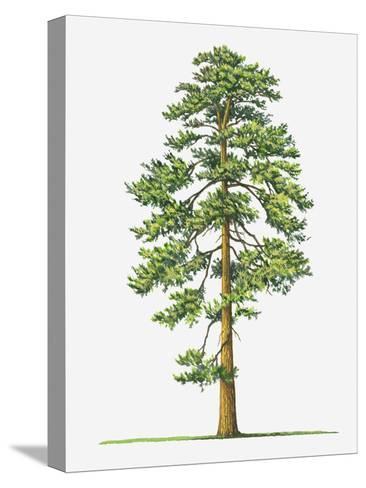 Illustration of Evergreen Pinus Ponderosa (Ponderosa Pine) Tree-Sue Oldfield-Stretched Canvas Print